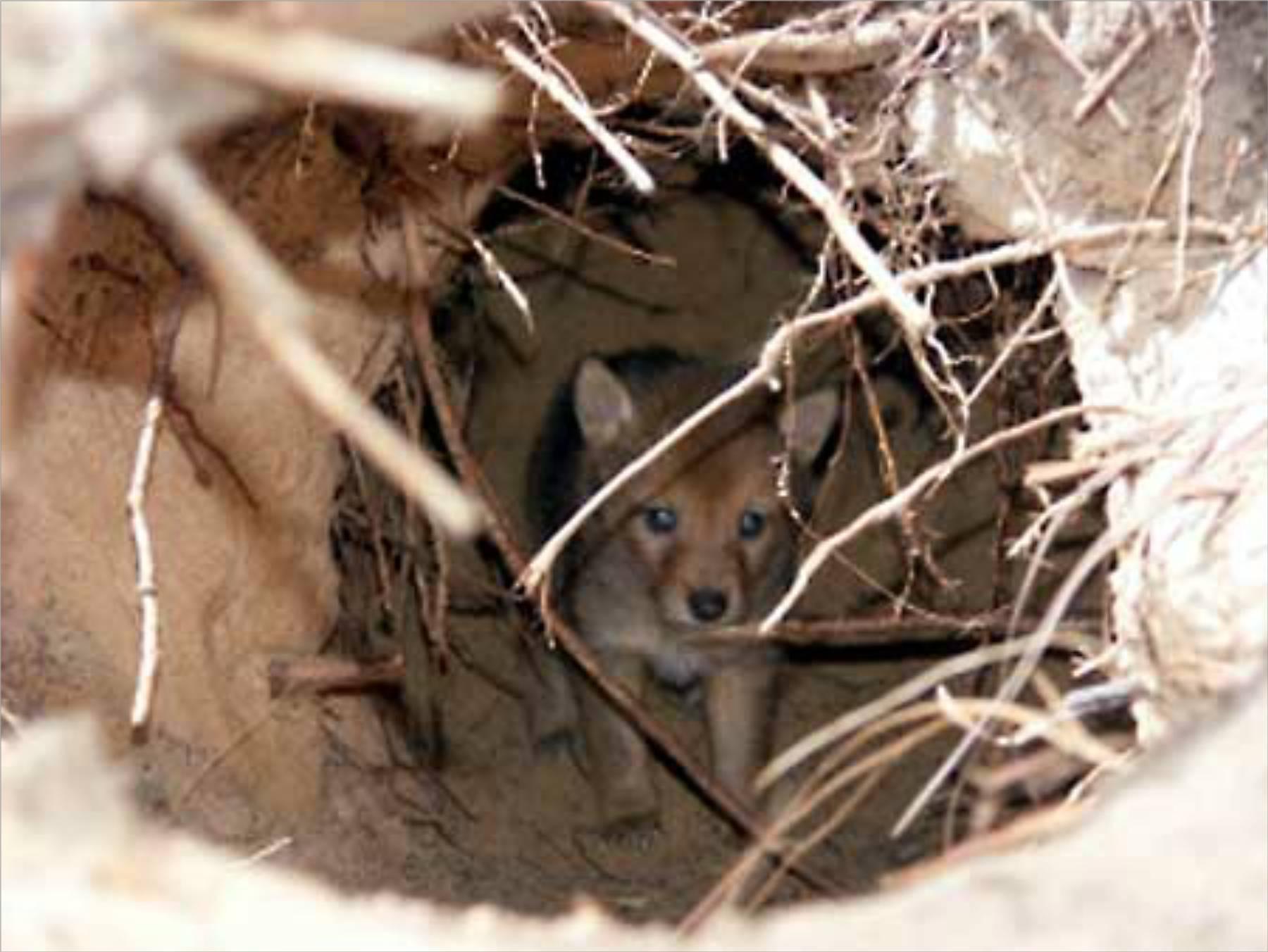 external image Coyote-Pup-n-Den.jpeg