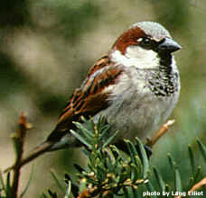 MALE ENGLISH SPARROW