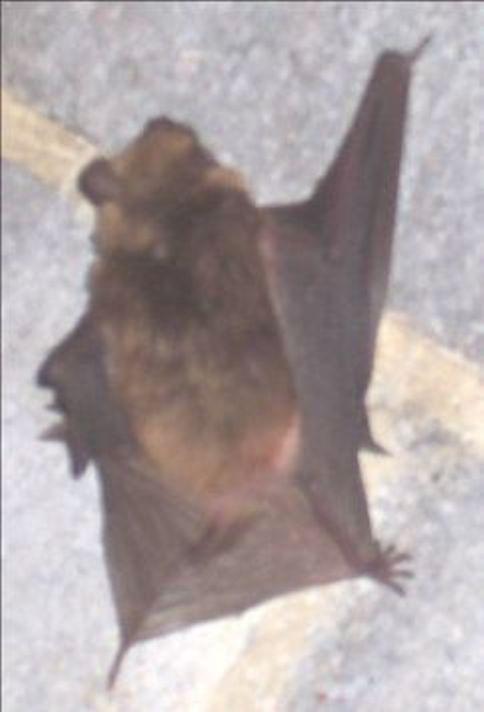 Wildlife Pest Control Bats